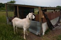 Boys Grow - goats