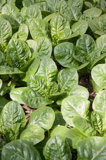 GTU_lettuce
