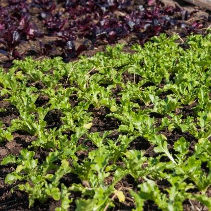 GTU_lettucebed-square