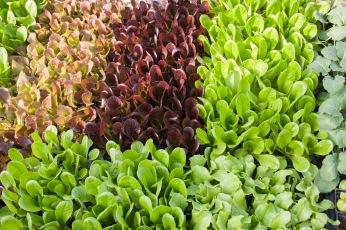 GTU_lettucestarts2