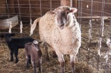 JET_sheep5