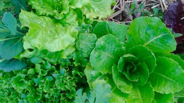 lettuce growing 2 RRF