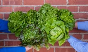 Lettuce hands