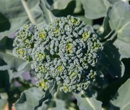 Pat & Rachel's Garden - broccoli head