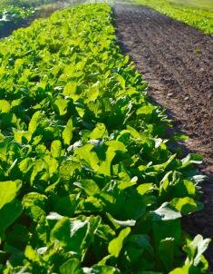 radish row growing MOTM